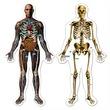 kép nagyítása Jumbo puzzle, Emberi test